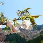 吉野の花見